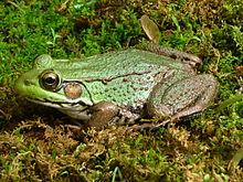 220px-Northern_Green_Frog_-_Tewksbury,_NJ