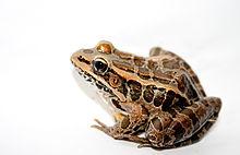 220px-Pickerel_Frog