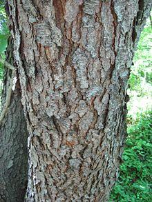 220px-PrunusSerotinaBark