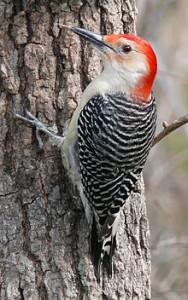 220px-Red-bellied_Woodpecker-27527
