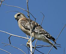 220px-Red-shouldered_Hawk2