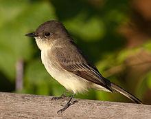 220px-Sayornis_phoebe_-Owen_Conservation_Park,_Madison,_Wisconsin,_USA-8