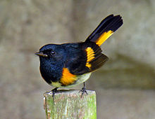 220px-Setophaga_ruticilla_-Chiquimula,_Guatemala_-male-8-4c