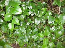 220px-Smilax_rotundifolia_8