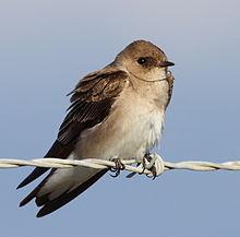220px-Stelgidopteryx_serripennis