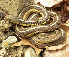 220px-Thamnophis_sirtalis_sirtalis_Wooster