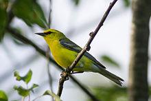 220px-Vermivora_cyanoptera_-North_Berwick,_Maine,_USA-8