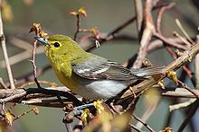 220px-Vireo-flavifrons-001