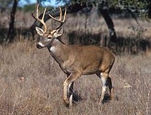 220px-White-tailed_deer