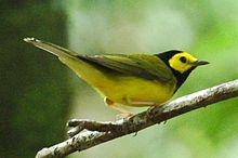 220px-Wilsonia_citrina_(Belize)