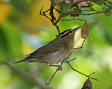 220px-Worm-eating_Warbler