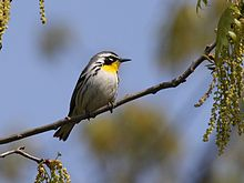 220px-Yellow-throated_Warbler_2