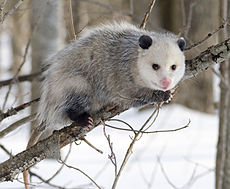 230px-Opossum_2