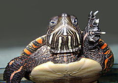 240px-US_BLM_painted_turtle_picta_pic2