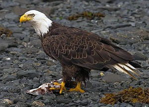 300px-2010-bald-eagle-kodiak