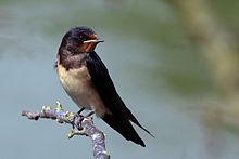 Barn_swallow_(Hirundo_rustica_rustica)