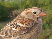 Field_sparrow_head