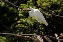 Great_egret_(Ardea_alba)_Tobago
