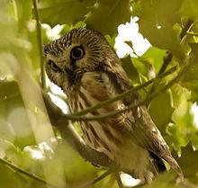 Northern_Saw-whet_Owl,_Reifel_BC_1