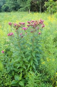 Vernonia_fasciculata