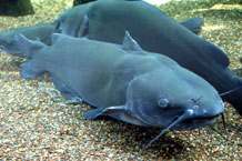 channelcatfish1TN