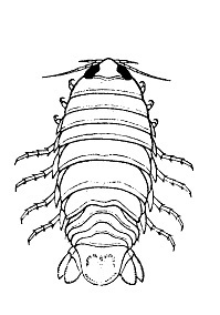 Rocinella signata. Fromo Brusca, R. C., V. Coelho and S. Taiti. 2001. A Guide to the Coastal Isopods of California.
