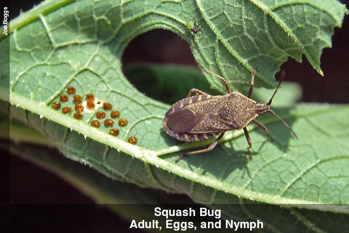 squashbug