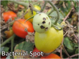 Tomato Diseases | Vegetable Disease Facts