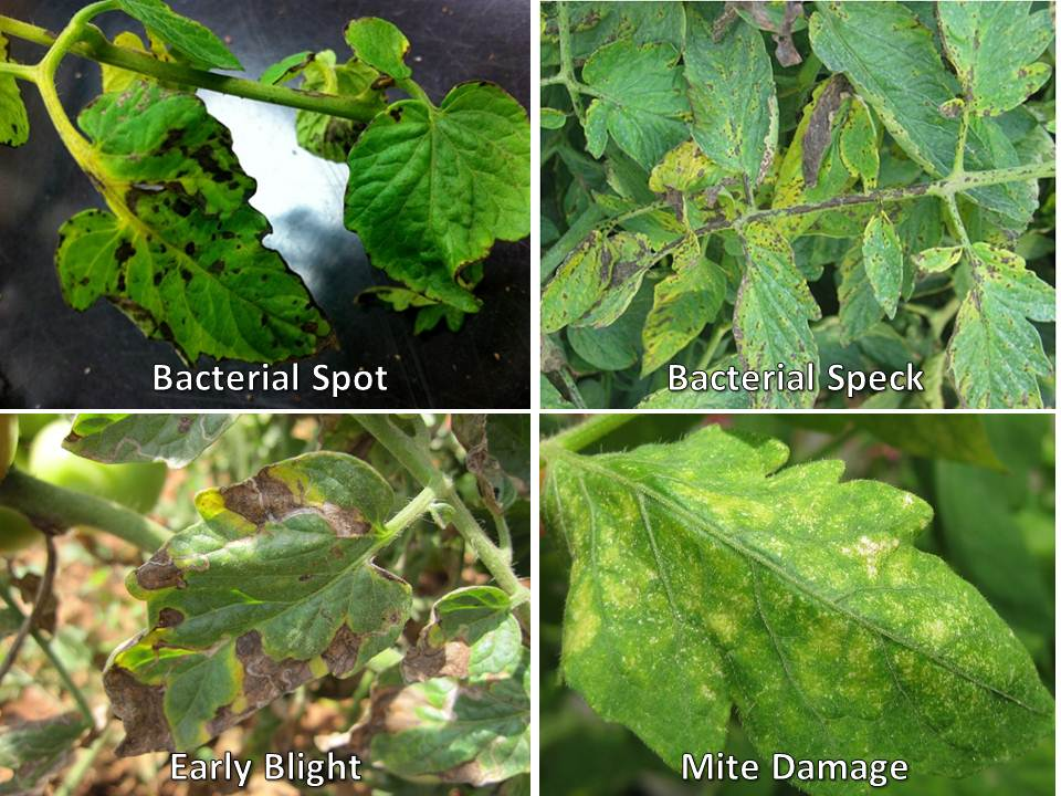 comparing diseases 4 canker tomato