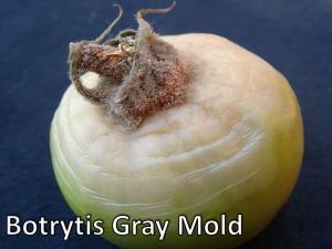 Botrytis Gray Mold Tomato 2