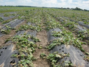 Cucumber DM Huron cnty1 50 QUALITY