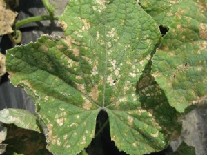 Cucumber DM Huron2 50 QUALITY