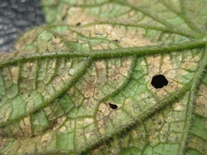 Cucumber DM sporulating3 50 QUALITY