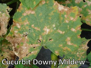 Cucurbit Downy Mildew