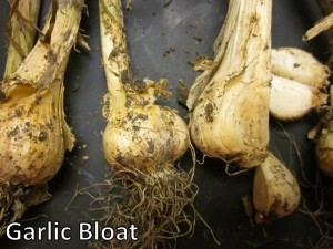 Garlic Bloat