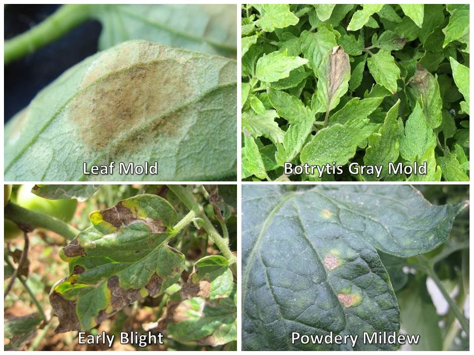 comparing diseases 4 for powdery mildew
