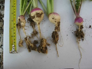 Turnip Clubroot Maureen Austin_50Quality