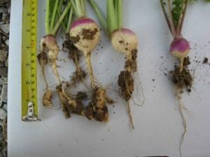 Turnip Clubroot Maureen Austin_50Quality