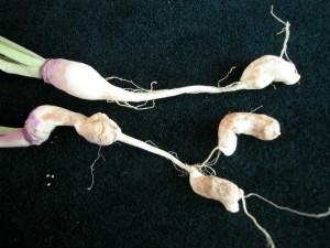 Turnip – Club Root 2_50Quality