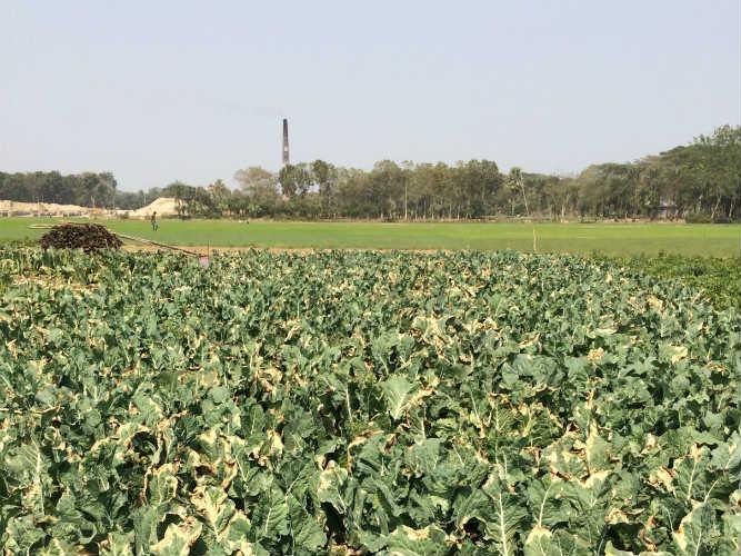 Black Rot Cauliflower Bangladesh2014_50Quality