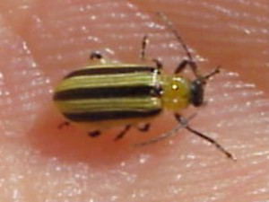 Striped cuc beetle cropped_50Quality