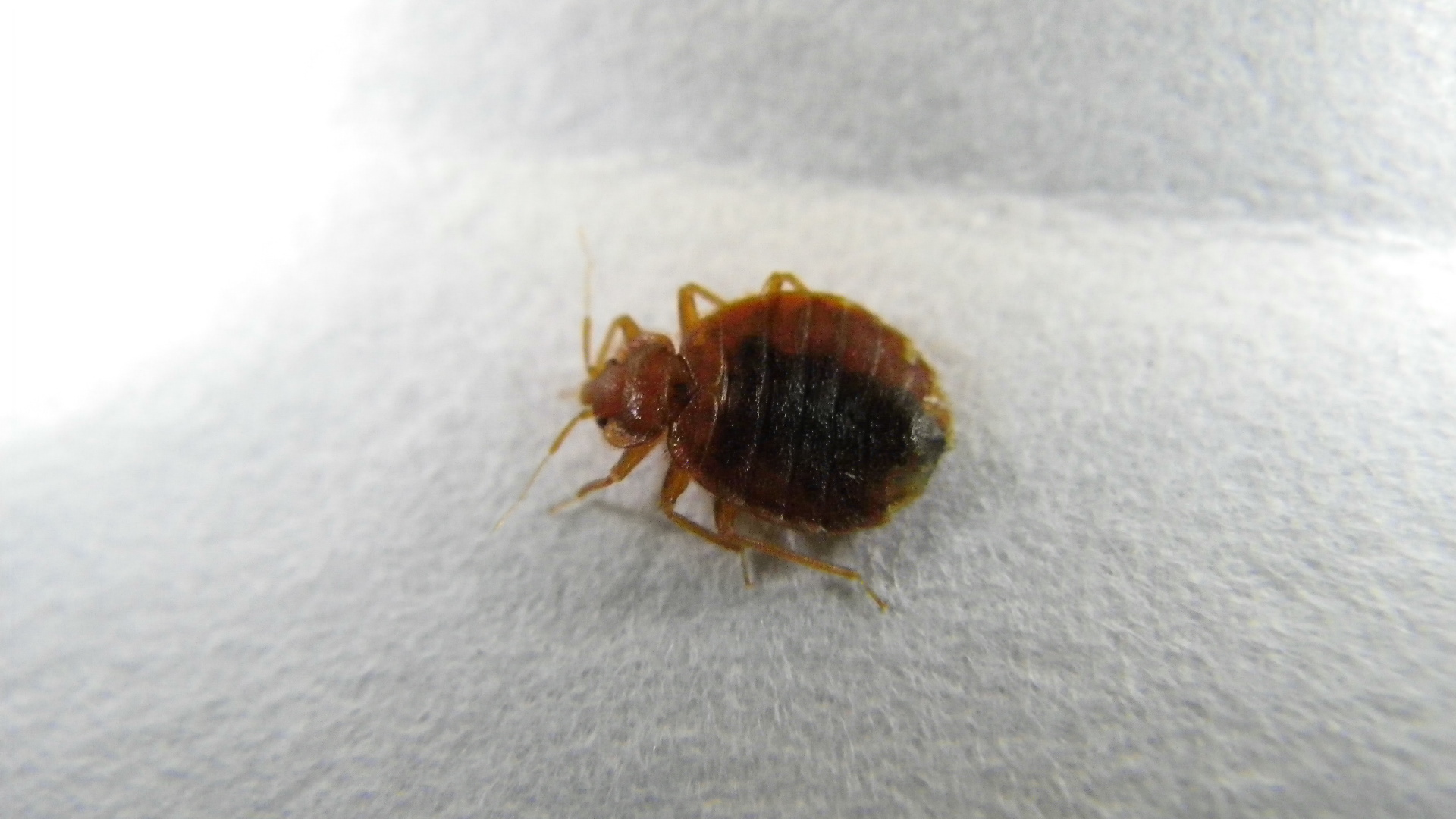Bed Bug Eggs In Clothes