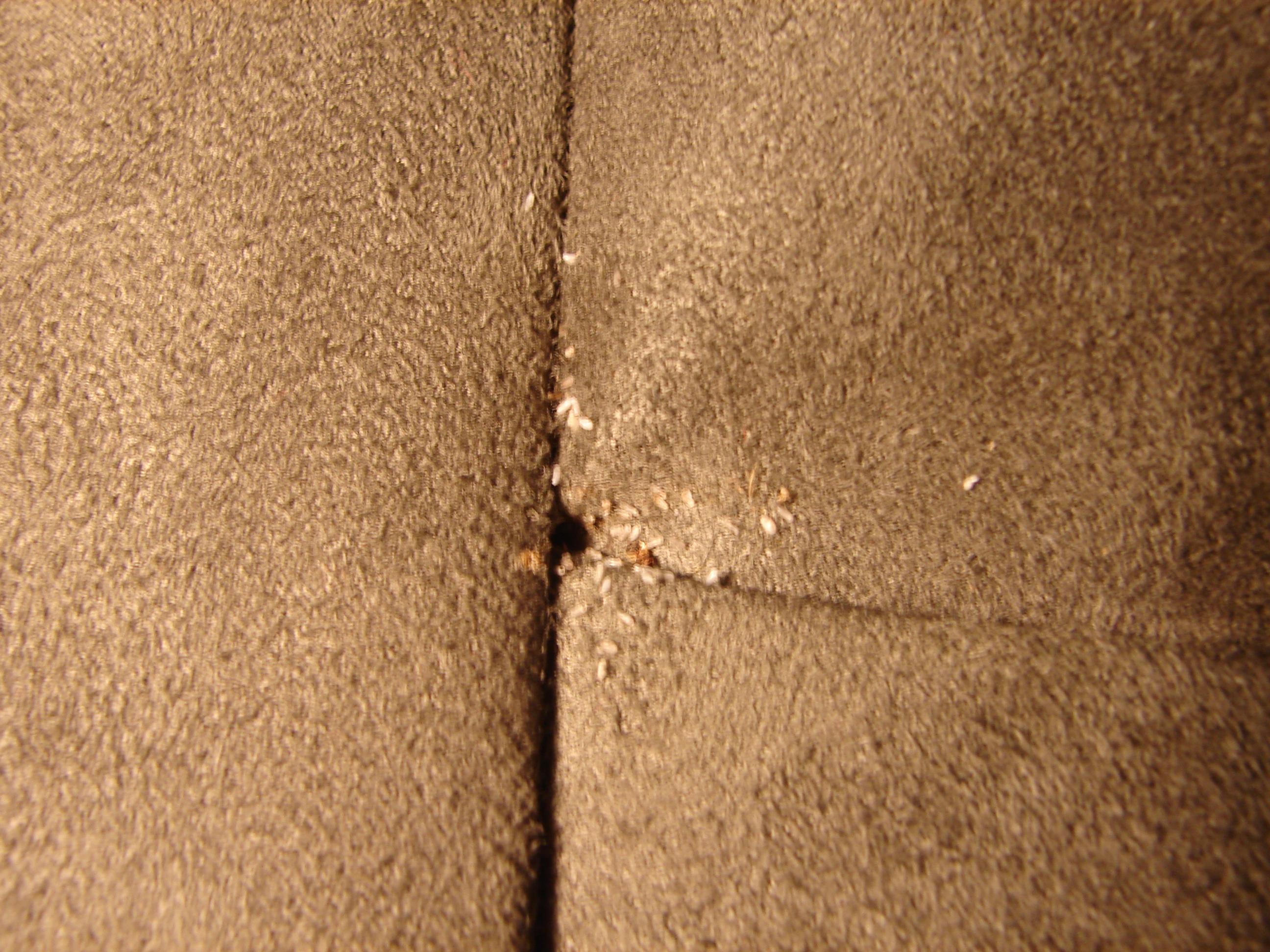 Bed Bugs As Vectors Of Disease