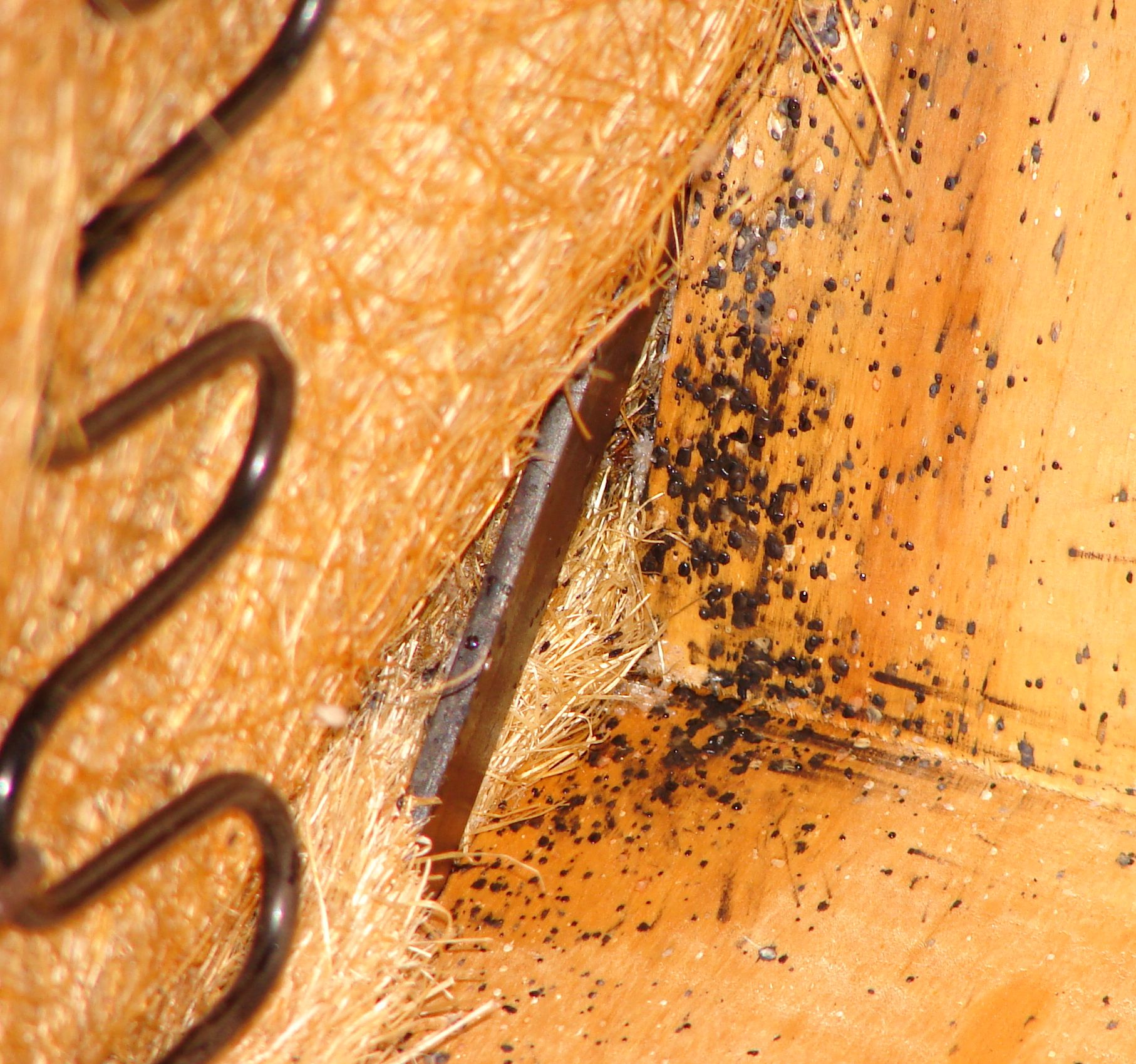 Bed Bug Fecal Spotting On Underside Of Sofa