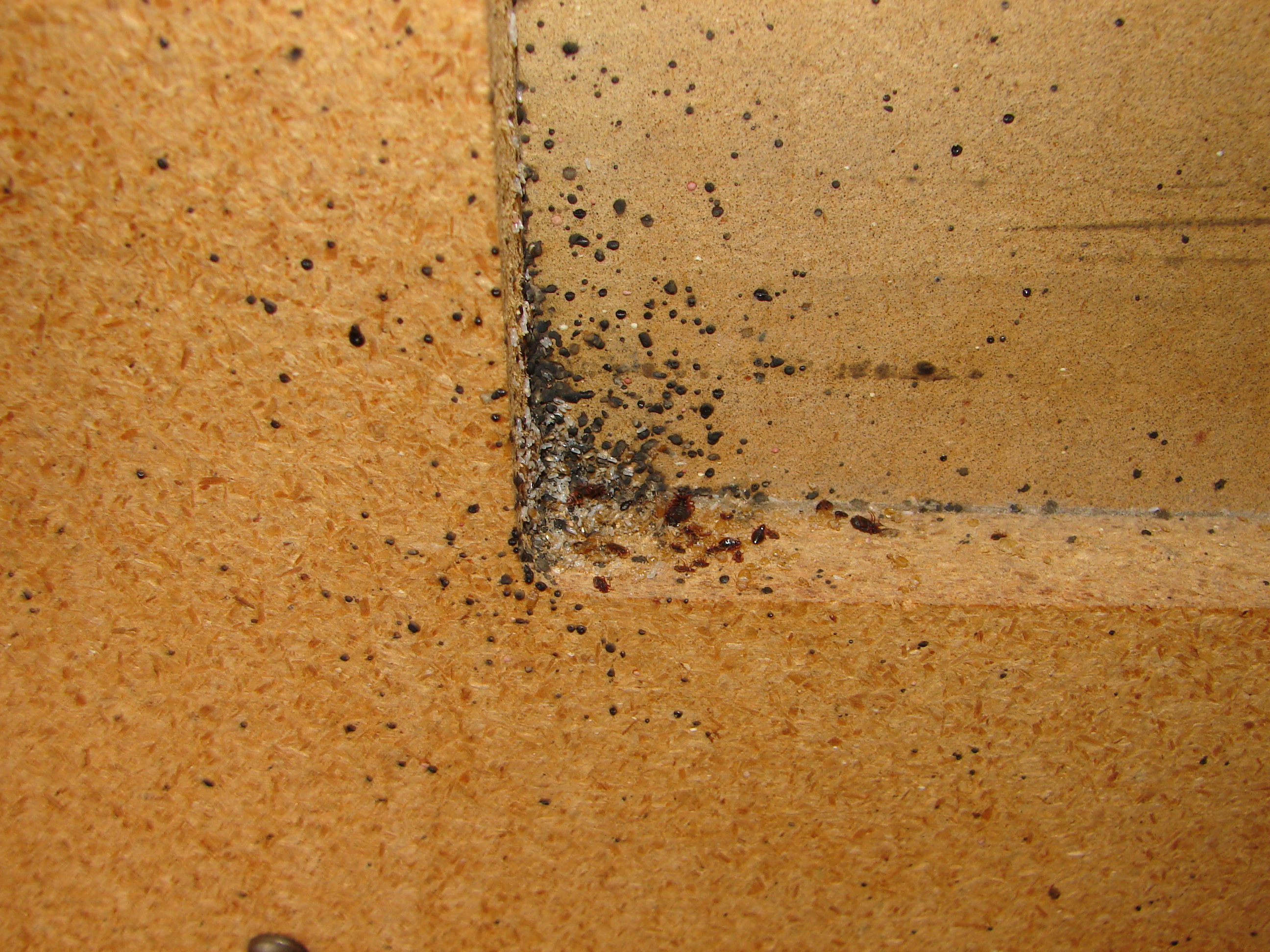 Bed Bugs On The Underside Of Furniture Bed Bugs