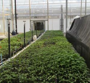seeding of 23 varieties in greenhouse 1-cropped