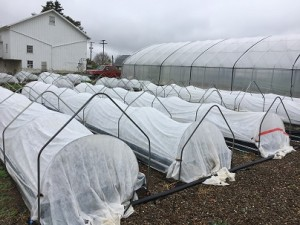 lettuce-beds-were-covered-only-with-agribon-10-20-2016-resized