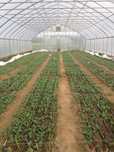 Spinach stand count was completed three weeks after seeding resized