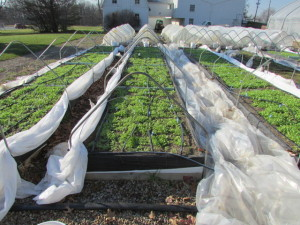 lettuce-beds-wwre-covered-with-both-agribon-and-mid-tunnel-plastic-dec-2015
