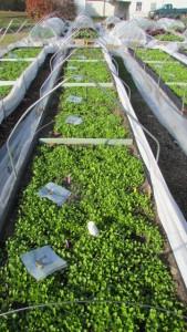 lettuce-harvest-11-15-2016